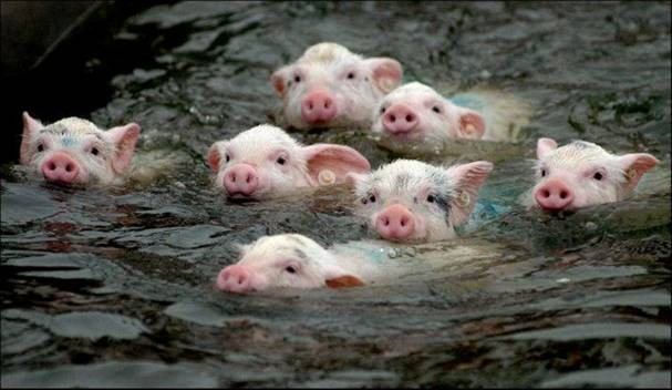 flood-pigs-swimming - Manila flood: Swim for your lives, my little darlings! - Philippine Photo Gallery