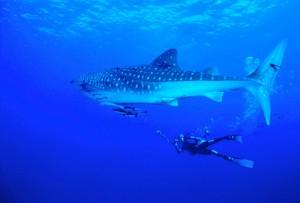 whale shark 3_2