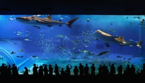 whale sharks captives kuroshio-sea-of-the-okinawa