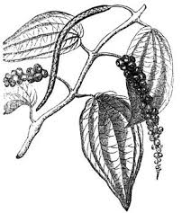 peppercorns drawing