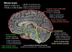 brain cells number